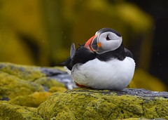 Atlantic Puffin (anacm.silva) Tags: atlanticpuffin puffin ave bird wild wildlife nature natureza naturaleza birds aves isleofmay firthofforth scotland escócia papagaiodomar fraterculaarctica uk coth5