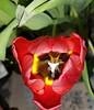 Tulpe am Abend 2018-01-29_06-10-14 (eagle1effi) Tags: white tulip sooc nightlife macro s7 tulipan tulpen tulips tulpe lâle tulipe tulp tulipano quinta donnerstag