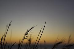 Grasses (Stueyman) Tags: sony alpha ilce za zeiss sky 55mm rockingham perth wa westernaustralia australia bluehour grass dusk