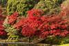 IMG_3566 (Matthew_Li) Tags: red leaf japan maple leaves