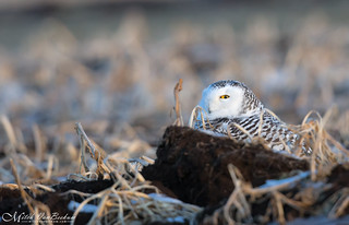 I Got My Eye On You! (Snowy Owl)