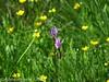 Shooting Star in Tuolumne Meadows (Anne's Travels3) Tags: tuolumnemeadows yosemitenationalpark california potholedome wildflowers