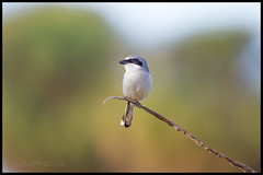 Loggerhead Shrike (Adrien S.M) Tags: loggerheadshrike shrike