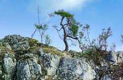 173 I grow on a rocky ground (Hejma (+/- 5400 faves and 1,7 milion views)) Tags: skały wapienne drzewa krzewy