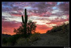 Fire In The Sky (Ken Mickel) Tags: arizona buckeye cacti cactus clouds cloudy desert kenmickelphotography landscape landscapedesert outdoors plants saguaro seasons sky skylineregionalpark summer sunsets topaz topazclarity backlighting backlightingphotography backlit backlitphotography nature photography sunset