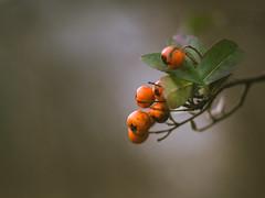 Winter berries (A_Peach) Tags: g5 pancolar park mft m43 lumix panasonic microfourthird micro43 apeach anjapietsch vintagelens manualfocus adaptedlens plant nature availablelight dof bokeh berry berries winter panasoniclumixg5 czjpancolar50mmf18