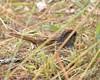 O2K_3917 (68photobug) Tags: 68photobug nikon d7000 sigma 150500mm usa centralflorida polkcounty lakeland circlebbar reserve preserve refuge park marsh sanctuary wetlands pinescrub nature naturecenter discoverycenter environmentalcenter wildlifemanagement alligatoralley birds littlebrownbirds