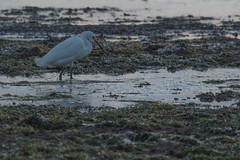 IMG_2857 (armadil) Tags: mavericks beach beaches californiabeaches bird birds egret snowyegret