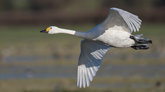 Bewick's swan (cliveyjones) Tags: swan wwtslimbridge slimbridge bewicks bewicksswan