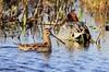 SNIPE (Bradders62) Tags: commonsnipe sigma150500mmf563dgoshsmlens canoneos7d snipe birds wildbirds britishbirds somerset southwest somersetlevels greylake nature wildlife