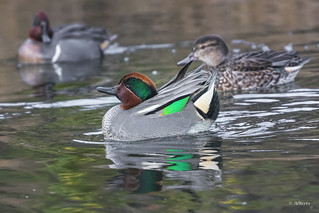 Hybrid Eurasian Teal and Green-winged Teal