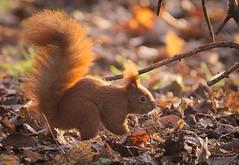 Digger (hedera.baltica) Tags: squirrel redsquirrel eurasianredsquirrel wiewiórka wiewiórkapospolita sciurusvulgaris