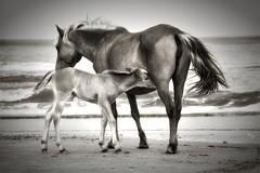 Got milk? (azwoogie) Tags: wildhorses animals horses horse brownhorse corollanc corolla corollanorthcarolina beach outerbanks northcarolina blackwhite blackandwhite blanconegro sepia monochromatic monochrome bw pony atlantic
