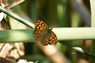 Mariposa Saltacercas.. Otra de las muchas especies de lepidopteros de la familia Nymphalidae que habitan Málaga. Lasiommata megera es su nombre científico y como se aprecia en la fotografía tiene un fuerte color naranja con grandes ocelos.