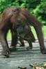 Orangutan mother and baby (Xnalanx) Tags: activity ape asia borneo eating malaysia mammals orangutan places sandakan sepilokorangutanrehabilitationcentre wildlife