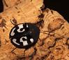 Question mark cockroach (Therea olegrandjeani) male (shadowshador) Tags: question mark cockroach therea olegrandjeani neomura eukaryota opisthokonta holozoa filozoa animalia eumetazoa bilateria nephrozoa protostomia ecdysozoa panarthropoda panarthropod panarthropods tactopoda tactopod tactopods arthropoda arthropod arthropods hexapoda hexapod hexapods insecta insect insects pterygota neoptera dictyoptera blattaria corydioidea corydiidae corydiinae invertebrate invertebrates taxonomy scientific classification biology entomology wildlife life