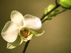 Home grown orchid London (india_snaps) Tags: flower closeupphotography closeup macro london homegrown orchid