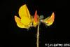 Lotus hispidus Desf. ex DC. (Luís Gaifém) Tags: lotushispidus fabaceae loto serradeladaterra trevo trevoamarelo hairybirdsfoottrefoil luísgaifém macro natureza nature planta plantae flor flower laúndos