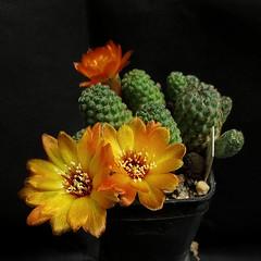 Sulcorebutia callecalensis L389 '083' (Pequenos Electrodomésticos) Tags: cactus cacto flower flor sulcorebutia sulcorebutiacallecalensisl389