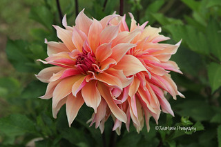 Peachy Pink Dahlia's at East Ruston Old Vicarage Gardens