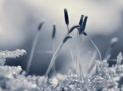 ethereal mildness (cherryspicks (off)) Tags: macro nature monochrome blackandwhite moss spores