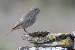 black redstart (leonardo manetti) Tags: uccello bird nature sunset red winter colours naturephotography field natural nikkor countryside green