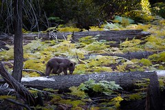 Young Bear in Sequoia (Lightcatcha) Tags: bear brown sequoia young nature southwest usa south west united states america amerika tree yellow wood woods natural habitat landscape national park beautiful animal nikon d7100 tamron 70300 mm