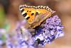 Nektaraufnahme (Mariandl48) Tags: nektaraufnahme schmetterling lavendel