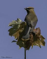 2I1A3877a (lfalterbauer) Tags: outdoor cedarwaxwing canon 7dmarkii nature wildlife avian ornithology digital camera dslr
