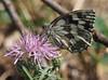 Motyle Schmetterlinge (arjuna_zbycho) Tags: motyle schmetterlinge lepidoptera insekten insecta blauschwarzeeisvogel limenitisreducta falter tagfalter edelfalter