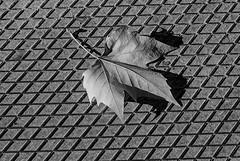 Texturas de otoño. (fcuencadiaz) Tags: analogica fotografiaargentica film pelicula byw blancoynegro monocromo otoño texturas rangefinder telemétricas trix objetivosfijos objetivosmanuales leica m7