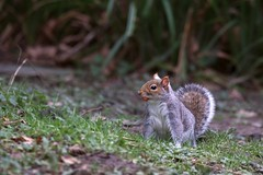 17 Jan 2018 (Dan LeBrun) Tags: xt2 tc14 50140mm fuji forest longleat centerparcs wildlife squirrel 365