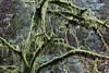 Lots of mossy trees next to the creek (rozoneill) Tags: cape mountain berry creek siuslaw national forest hiking oregon florence princess tasha scurvy ridge trail nelson coastal