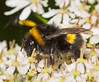 Bumble bee on hogweed (alf.branch) Tags: insect insects invertibrate closeup cumbria macro macrodreams macrosafari alfbranch olympus olympusomdem1 omd olympusex25 sigma sigma105f28 ngc extensiontubes