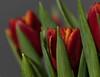 merci (rooibusch) Tags: tulpen vernissage tulips