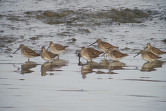 Long-billed Dowitcher, Alviso CA, 20180115-101.jpg (maholyoak) Tags: ca birds alviso santaclaracounty california longbilleddowitcher donedwardsnationalwildliferefuge sanjose unitedstates us