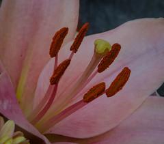 Stamens and pistil of a Lily (frankmh) Tags: plant flower stamen pistil macro kullagunnarstorp skåne sweden indoor
