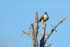 Red-tailed Hawk (Stephen J Pollard (Loud Music Lover of Nature)) Tags: buteojamaicensis aguilillacolaroja gaviláncolirrojo redtailedhawk bird ave birdofprey avedepresa raptor averapaz