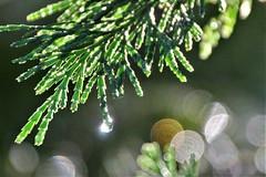 After a rain (qorp38) Tags: raindrops wet cedar forest sparkle backlight h2o aqua green bough sunlight