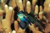 Accoppiamento, Mating (Maurizio Lanini) Tags: fish mating mandarinfish pescemandarino colors moalboal philippines