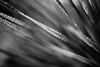 Bandsaw (belleshaw) Tags: blackandwhite livingdesert nature cactus teeth sharp blades plant backlit detail abstract bokeh