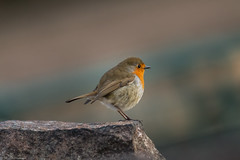 Rocking Robin (Steve (Hooky) Waddingham) Tags: stevenwaddinghamphotography bird british song summer spring wild wildlife nature countryside red sing breast
