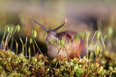 Dégustation.... (Callie-02) Tags: nourriture pelouse nature extérieur jardin lumière couleurs profondeurdechamp bokeh canon macro herbe verdure mousse escargot