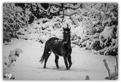 forest of the dreams (♥Tonia♥ & VG photos) Tags: fairyland horse tale snow forest dreamy atmoshere vgphotography
