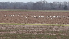 CRANES AND GEESE (dmoon10751) Tags: shcr sngo gwfg waterfowl crane