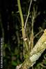 2015-03-25 TEC-1540033 Smilax domingensis (large specimen) - E.P. Mallory (B Mlry) Tags: 35nerved 2015 tec armed branching belize belizedistrict belizezoo flora idd leaveslanceolate smilacaceae smilaxdomingensis tbz transitionforestlongtrail tropicaleducationcenter apexacutetoattenuate climber crosssection foliage habitat hairlessstem insitu leafbasecuneateorattenuate leavesglabrous pricklesstraight pricklystem purplishstem stem stemcolor straightstems striatedstem tallos tendrils teretestem venation wetforest democracia