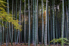 Peaceful bamboo grove in Kyoto, Japan (phuong.sg@gmail.com) Tags: abstract asia background bamboo bambooforest beauty blur botanical branch buddhism calm china chinese color culture decoration east environment foliage forest fresh freshness garden gardening green grove growth japan japanese jungle lush natural nature pattern plant relax scene serene spring stalk stem summer texture tranquil tree tropical yellow zen