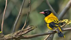 DSC_0345-Edit-Edit-Edit.jpg (naser7363) Tags: blackheadedoriole birds
