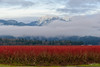 Red, White and Blue...Forever ♡ (SonjaPetersonPh♡tography) Tags: pittmeadows pittpoulder country roads mountainlandscape landscape bc britishcolumbia canada clouds fog lowcloud fields mountain goldenearsmountain goldenears mapleridge mountainpeak nikon nikond5300 blueberries blueberrybushes dykes winter ribbonofcloud sky nature