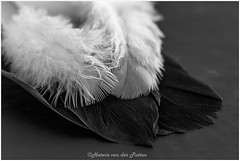 Witte vleugels Zwarte vleugels (Hetwie) Tags: macromaandag macro whitewingsblackwings feather bookcover macromonday suemonkkidd veer veren boektitel wittevleugelszwartevleugels helmond noordbrabant nederland nl